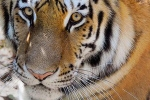 Bronx Zoo Tiger, Nadia The First Animal Tested Positive For Covid-19